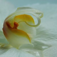 Орхидея :: Galina Kazakova