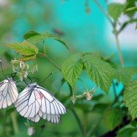 бабочки :: Алиса Садыйкова