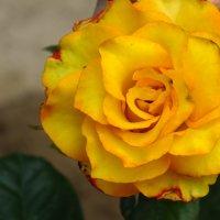 Роза :: Анастасия Паллина