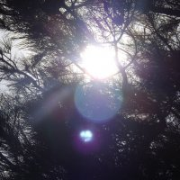 солнце в соснах :: Анна Шубина