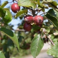 Райские яблочкм :: Александр Кузин