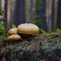 Ранние грибочки :: Андрей Черемисов