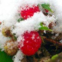 зимняя ягода :: Яна Панасюк