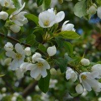 когда цветут яблони... :: Анна Сифириди