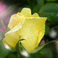 жёлтая роза :: Дарья Цыганок
