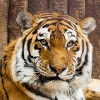 Тигр :: Александр Лядов