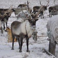 Северные олени :: Владимир Кашмов