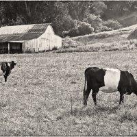 California cows :: Yanina Gotsulsky