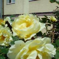 Желтые розы во дворе дома распустились! :: Светлана Калмыкова