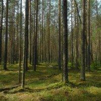 сосновый лес :: Михаил Жуковский