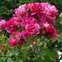 """""""...Я видела, как лепестки летели роз, Их ветер будто бы в ладонях нес…"""" :: Galina Dzubina"""