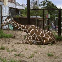 Отдыхающий жираф :: Aнна Зарубина