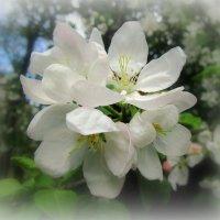 Яблоневый цветок :: Сергей Карачин