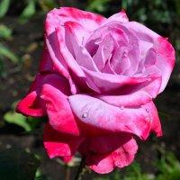Про розы :: Милешкин Владимир Алексеевич