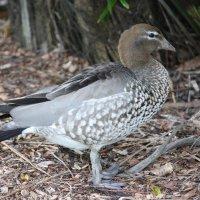 .Австралийская гривистая утка. :: Антонина