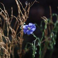 Цветы восточной сибири :: Юрий Лутов