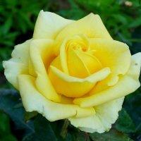 Жёлтая роза... :: Тамара (st.tamara)