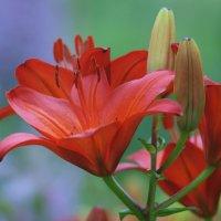 Красная лилия :: Олег Шендерюк