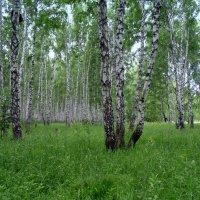 Берёзовая роща в Новосибирской области . :: Мила Бовкун