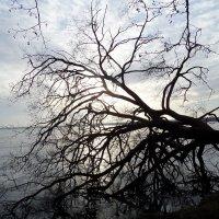 Дерево которого уже нет... :: Оксана