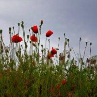 Маков цвет... :: Наталья Костенко