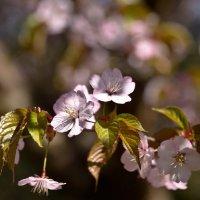 Цветок сакуры :: Владимир Брагилевский