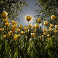 тюльпаны :: Александр Степанов