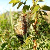 Мех ползёт среди травы.  Это гусеница, вы? :: Людмила Богданова (Скачко)