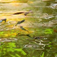 Рыбки в открытом бассейне :: Нина Бутко