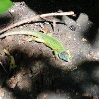 Ящерица - мини-крокодил... :: Алекс Аро Аро