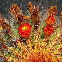 Цветы кактуса :: Tatiana Belyatskaya