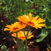 Солнечные цветы :: Елена Якушина