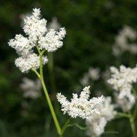 Белые цветы :: Надежда Преминина
