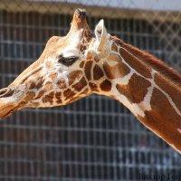 жираф :: Laryan1