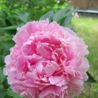 Розовый пион :: Дмитрий Никитин