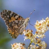 бабочка :: Лариса Батурова