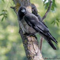 Ворона - хозяйка парка :: Сергей Николаевич Бушмарин