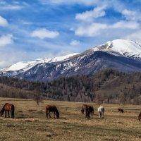 Лошади и горы - классический алтайский пейзаж :: Галина Шепелева