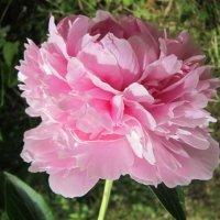 Пион розовый :: Дмитрий Никитин
