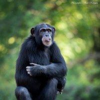 Шимпанзе... :: Мисак Каладжян