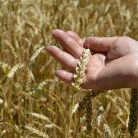 Пшеничка золотая... :: Наталья Петракова