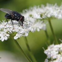 Про мух. :: Александр Кемпанен