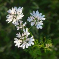 Кинза цветёт... :: Светлана Ященко