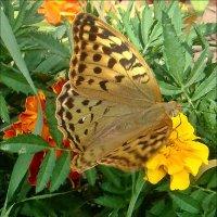 Бабочка на бархатце :: Нина Корешкова