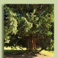 Старое -престарое....дерево туи... :: Людмила Богданова (Скачко)