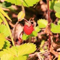 Сладка ягода в лес поманит :: Татьяна Ломтева