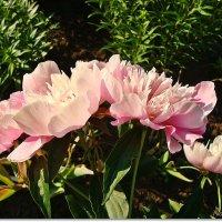 Нежно розовая компашка :: Лидия (naum.lidiya)