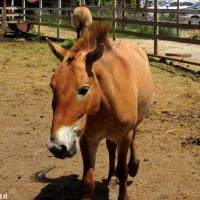 Лошадь Пржевальского :: Нина Бутко