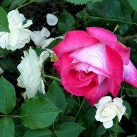 Московские розы :: Елена