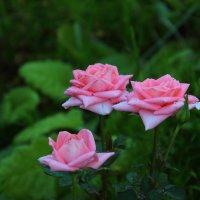 Королева цветов :: Владимир